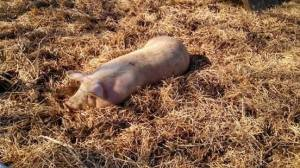 Fat Happy Pig at Bethel Trail Farm, Farm Day, 2014